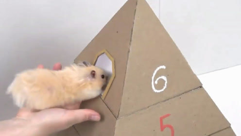 老外给仓鼠造迷宫,小仓鼠能逃出来吗?镜头记录全过程