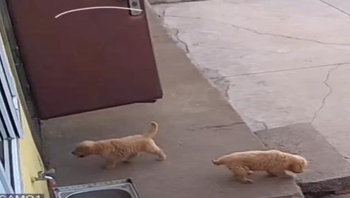 监控还原,真让人难以相信两只金毛的智商,一个把风一个偷!