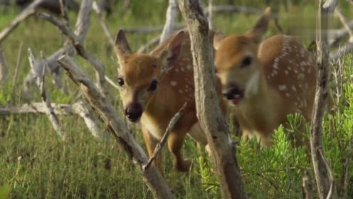 梅花鹿在大沼泽地建立了新的家园,它要面对各种爬行动物的威胁