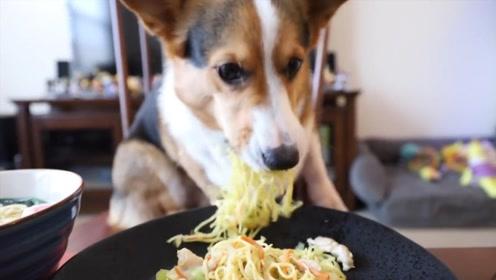 柯基犬喜欢吃什么?拉面还是炒面?看吃相明白了