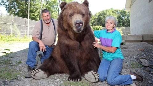 老外将棕熊当宠物,既听话又乖巧,甚至还一度成为明星!