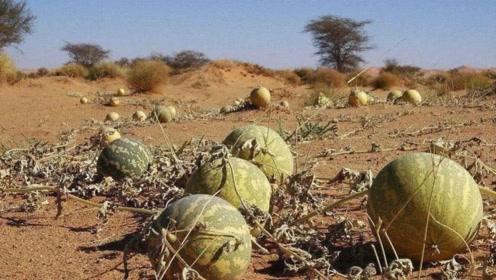 为什么沙漠的西瓜不要摘,当地人说出背后猫腻,看完吓出一身冷汗