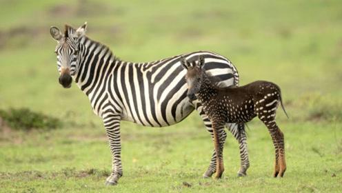 神奇的变异!肯尼亚条纹雌斑马生出了一只斑点斑马