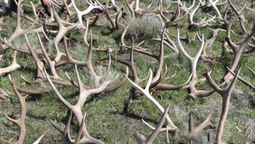 到处是白白的白骨这些白骨都是什么呢?小编在此呼吁不要伤害小鹿