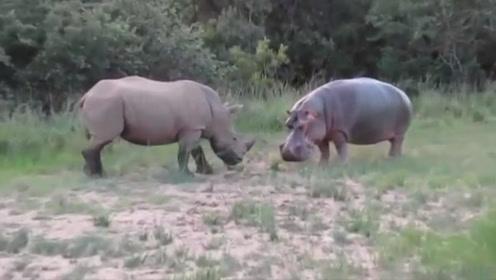 犀牛侵占河马领地,河马不吃亏瞬间爆发,陆地王者的碰撞