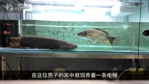小伙将一条鲤鱼放进电鳗池中,还没撑过3秒,瞬间被电蒙圈了!