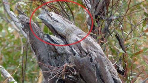 世界上最会伪装的鸟,遇到天敌就装成枯树枝,一装就是一生