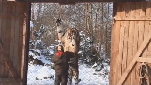 主人给东北虎喂吃的,结果这家伙直接站了起来,真是太霸气了