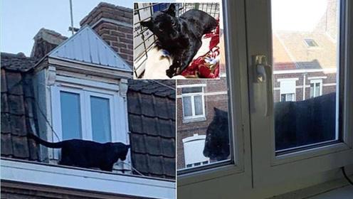 黑豹现身居民楼顶,被抓前悠闲耍帅,被抓后秒变乖乖猫