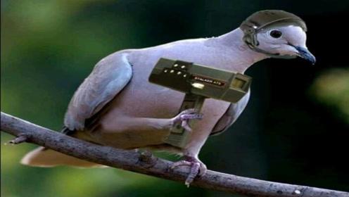 """动物界中的007,""""和平使者""""竟训练成间谍?中情局:侦察利器"""