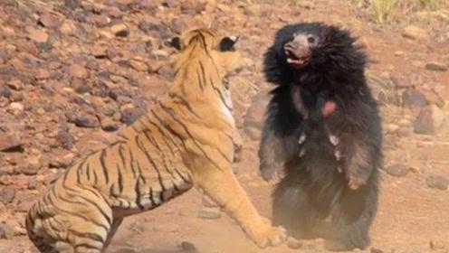 当棕熊遇到老虎会发生什么?镜头记下全过程,一起来看看!