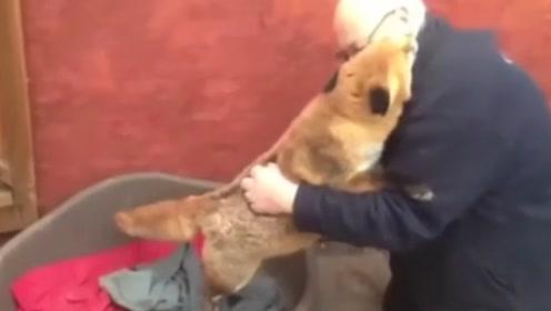 男子意外救助一只小狐狸,7年后再次相遇,一眼就认出了他