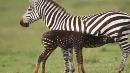 """罕见!肯尼亚小斑马因基因突变走红网络 """"斑马""""变""""斑点马"""""""