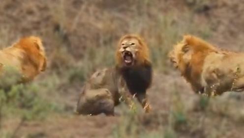 老狮王年迈退休,却被两头雄狮围攻,为保护尊严,举动让人泪目!