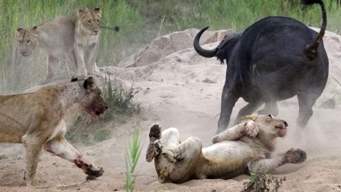 狮子王被水牛打败,水牛成功逆袭,激励人心