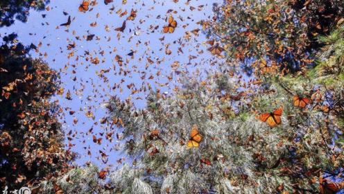 神奇的蝴蝶谷,没有花也能吸引无数蝴蝶!专家:树叶腐烂!