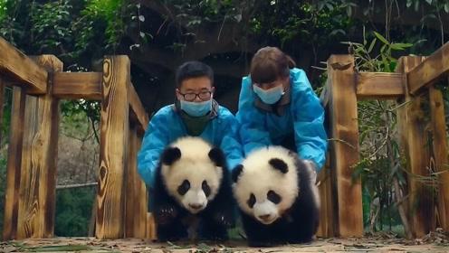 熊猫宝宝太无聊想逃走,打开门时被饲养员一把揪回,看完笑死了!