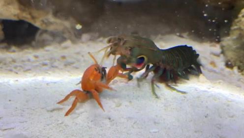 把螃蟹跟螳螂虾放一起,会发生什么事?网友:毫无还手之力