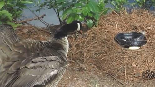 响尾蛇溜进大雁窝,冒充大雁孵鸟蛋,镜头拍下全过程