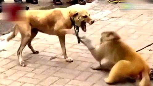 小猴子和狗狗在街上打架,输了不服气欲拿棍棒再战,反被主人教育