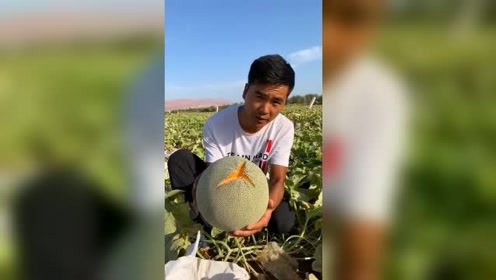 """这种自然熟到""""裂嘴""""的哈密瓜是卖不出去的,只能让它烂在地里!"""