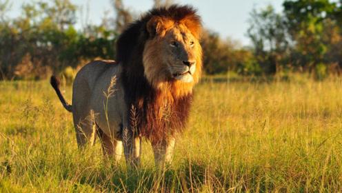 狮子的天敌竟是它?外表呆萌,却吓得狮子落荒而逃!