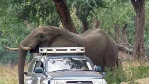 女司机开车去郊游,途中遭遇大象追赶,停车后反而救了大象一命!