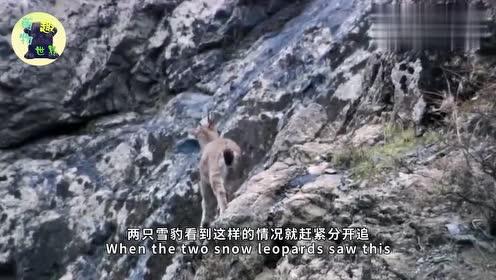 岩羊被雪豹抓住,坚决抵抗不肯就范,下一刻雪豹可惜了
