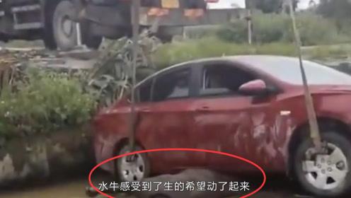 女司机开车直接把水牛撞进河里,网友:惹不起,惹不起!