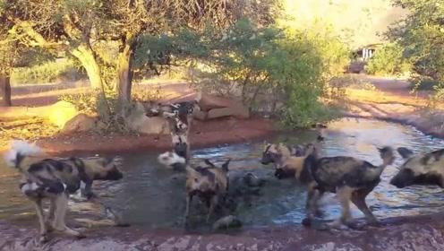 疣猪在泥潭洗澡时,突然遭到野狗群围攻,镜头拍下全过程!