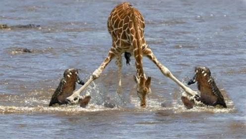 长颈鹿结队过河,未察绝到水中危险,被鳄鱼们咬住腿,可惨了!