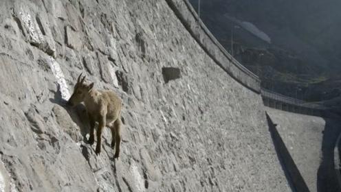 为了喝到一口水,羊儿爬上近九十度垂直的大坝,简直让人难以置信