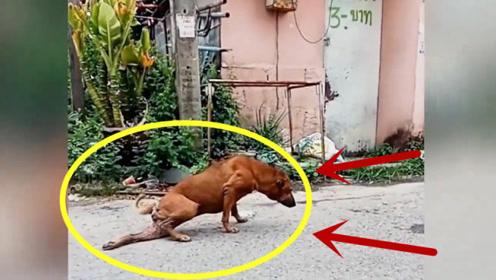 """""""戏精附体""""狗狗拖着一条腿装瘫痪,这演技可以秒杀小鲜肉!"""