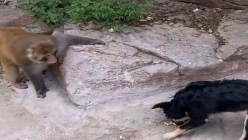 猴子挑衅狗狗,狗狗忍无可忍爆发了,吓得猴子立马老实了!