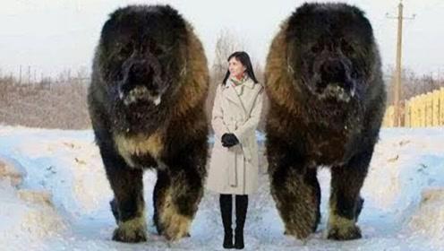 世界最大的5条狗,四肢着地堪比成年人