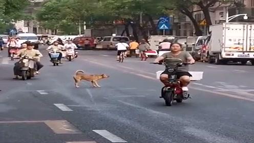 这狗子真不怕死,直接横在马路中间,厉害了!