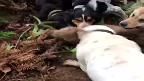 野猪被一群狗子围攻了,毫无招架之力,终于可以吃猪肉了!