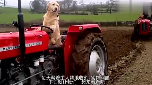 会开拖拉机的金毛你见过吗?每天帮主人耕地收割,操作非常娴熟!