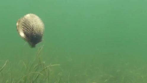 扇贝是这样游泳的?姿势也太呆萌了吧,一摇一摆地很灵活!