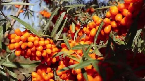 """沙漠之中的""""维C之王"""",果子挂满枝头,很多农民抢着收"""