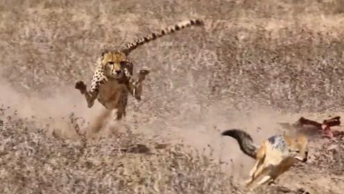逃命的狐狸巧刹车,摆脱猎豹的追杀,狐狸:论斗智斗勇我从未输过