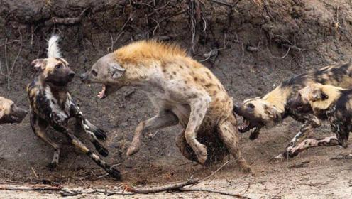 草原二哥鬣狗也有天敌,遇到后只能等死,狮子见了也害怕!