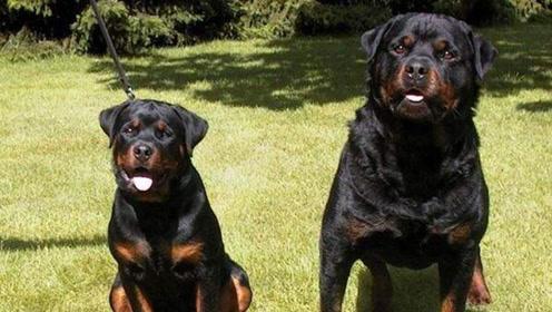 世界上打斗最狠的狗,就连比特也干不过它,1分钟ko对手