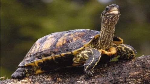 乌龟没了龟壳会怎么样?专家将乌龟壳解剖后,看到的一幕让人傻眼