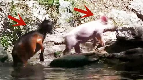小羊不幸落水大声呼救,一头猪从岸边路过,接下来的画面太暖心了