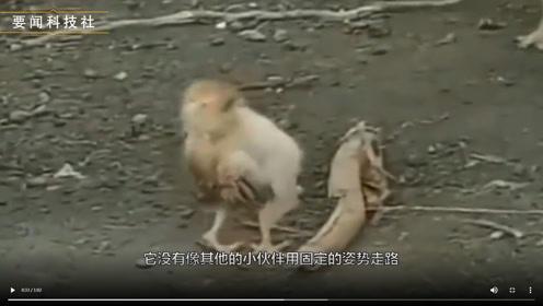喝多了?这只小鸡走起路来竟然要扶着自己的腰。镜头记录全过程!
