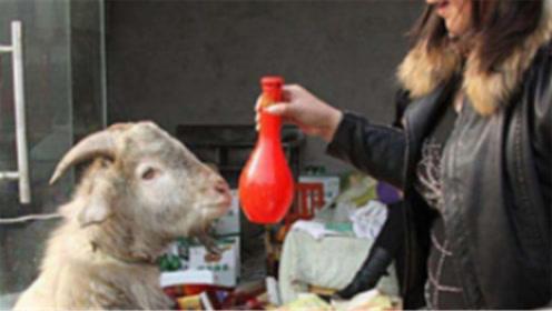 当山羊喝下高浓度白酒后,下一秒一定憋住不要笑,镜头拍下全过程