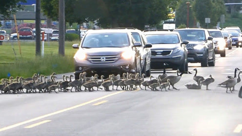 一群大雁过马路,车辆纷纷停车让路,大雁的动作太让人暖心了