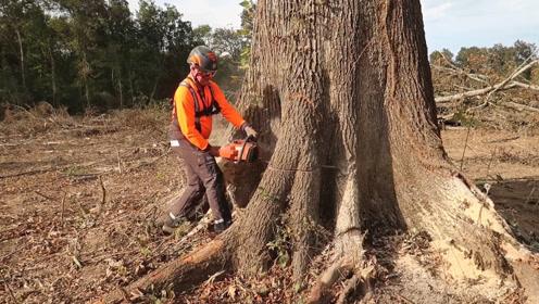 好厉害的伐木工,轻松伐倒一棵大树,技术堪比光头强