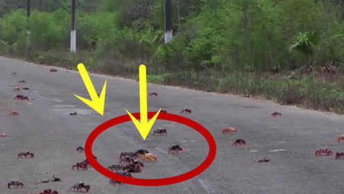 古巴螃蟹泛滥成灾,几百万只螃蟹爬上街头,中国吃货捂嘴偷笑!